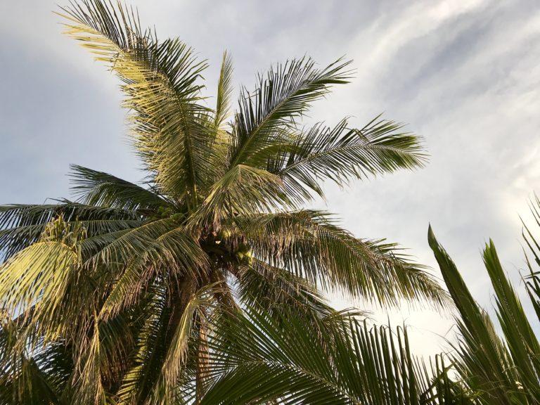 Kokosoljans mångsidighet